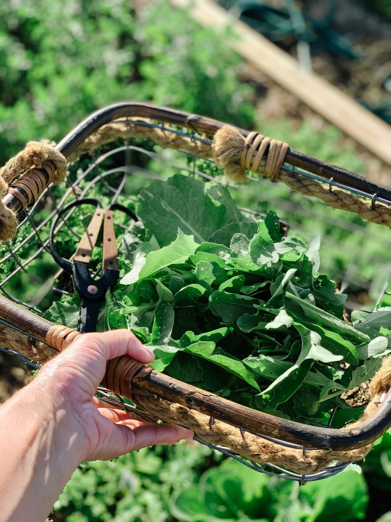 A basket full of fresh arugula picked from the garden on a hobby farm.