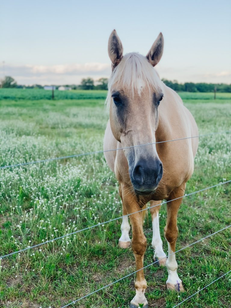 A palomino mare standing behind a fence in a lush pasture of a hobby farm full of wildflowers.